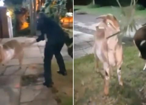 Horacio Conzi salió a pasear cabras por la vereda y una fiscal pide que le revoquen la prisión domiciliaria