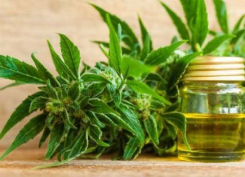 Drogón y cuenta nueva: avanza la producción de cannabis medicinal en San Pedro